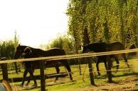 I cavalli che rientrano in scuderia
