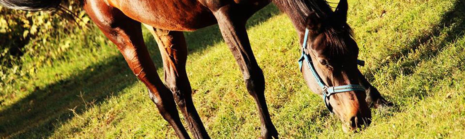Pensione cavalli a riposo fine carriera paddock e box, cavalli anziani, cavalli con patologie croniche o problemi comportamentali