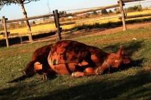 Una bella rotolata al paddock per uno dei cavalli della Cascina di Carola