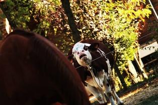 Le mucche e i vitellini alla Cascina di Carola
