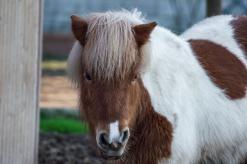 Uno dei pony della Cascina di Carola