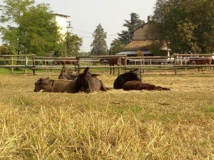 Gli asini si riposano nel paddock alla Cascina di Carola