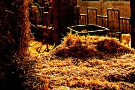 La vita di campagna: la paglia e gli abbeveratoi per le mucche